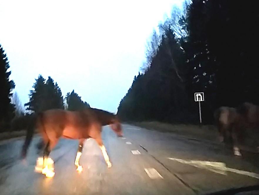 В Кимрском районе табун лошадей гулял по автодороге, мешая водителям проехать | Видео