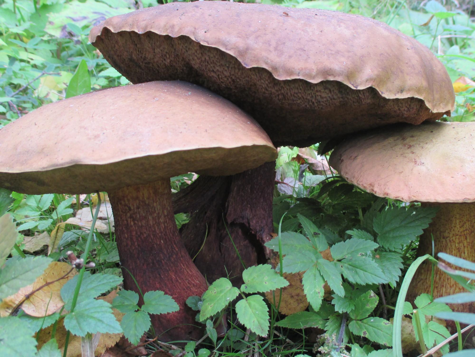 всего, какие грибы растут в тверской области фото оригинальный способ позволяет