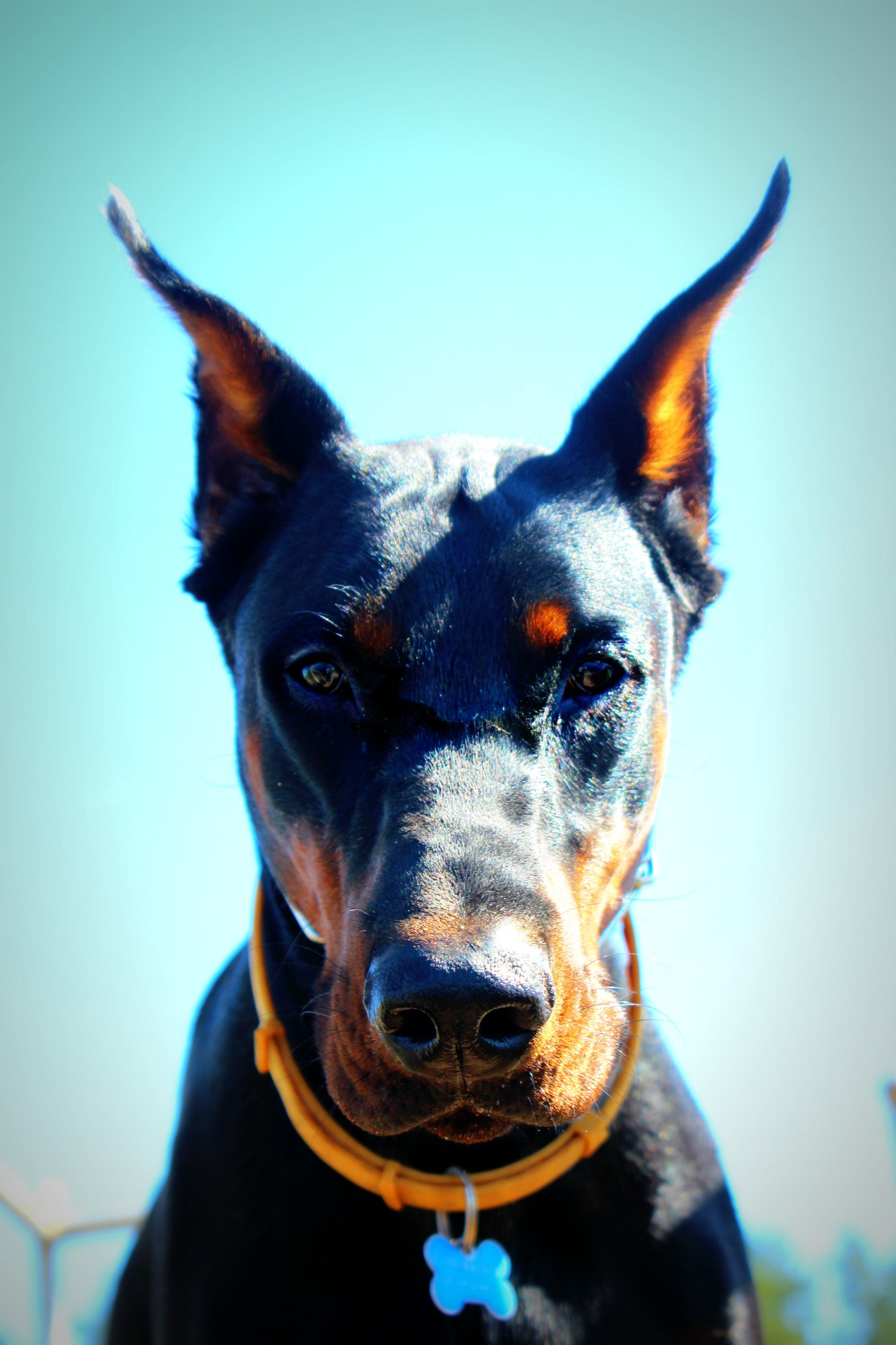 Картинки собак-злого добермана