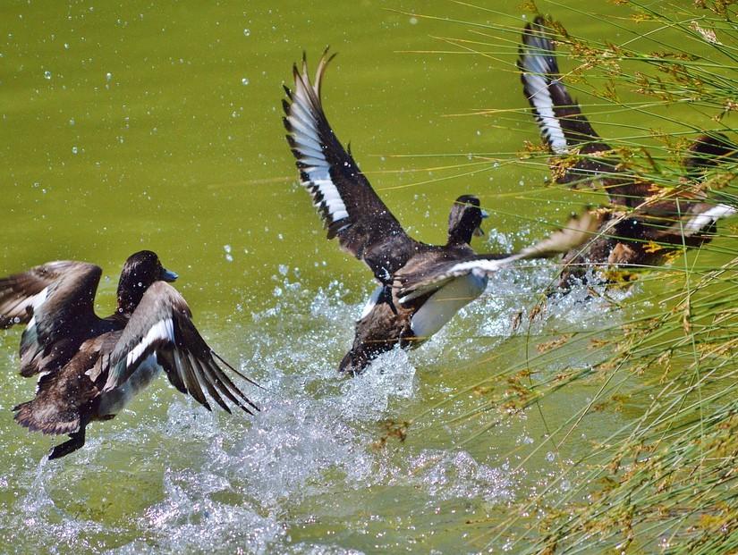 В Тверской области откроется охота на водоплавающую и боровую дичь
