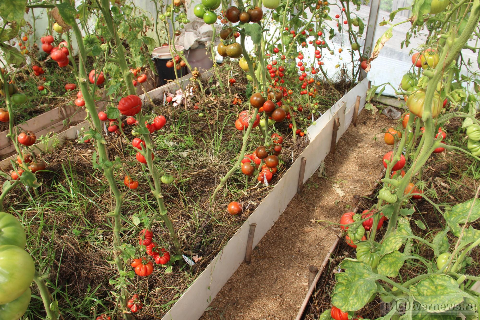 игру томат клубничное дерево отзывы фото урожайность правило