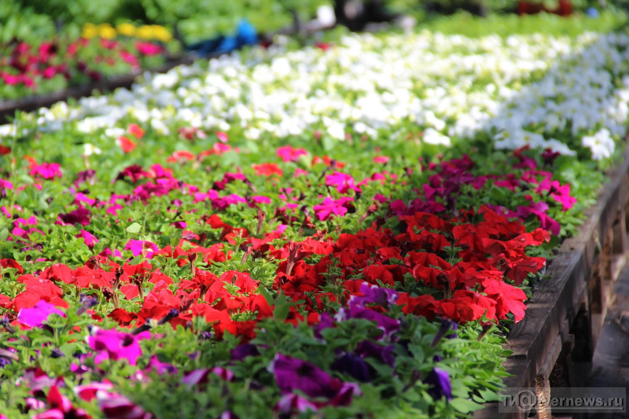 Рассада цветов в Белореченске Краснодарского края цены 52